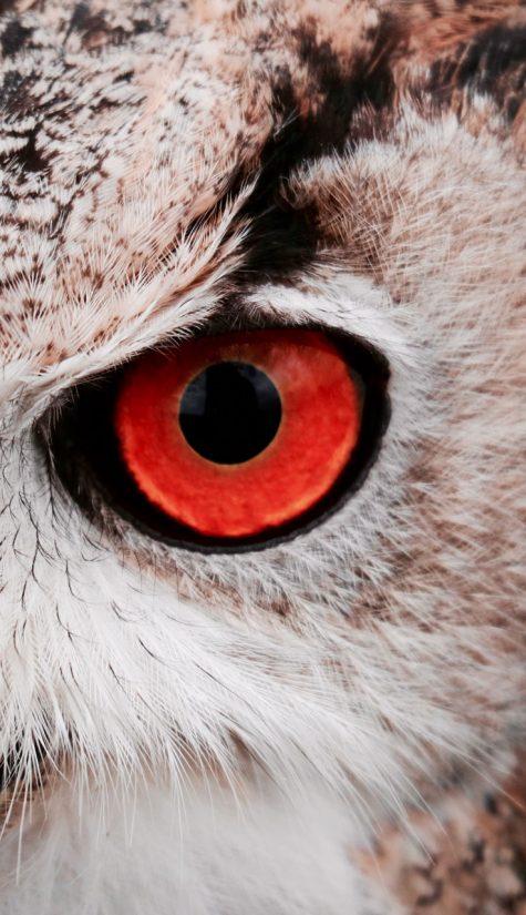 Red Eyes Owl